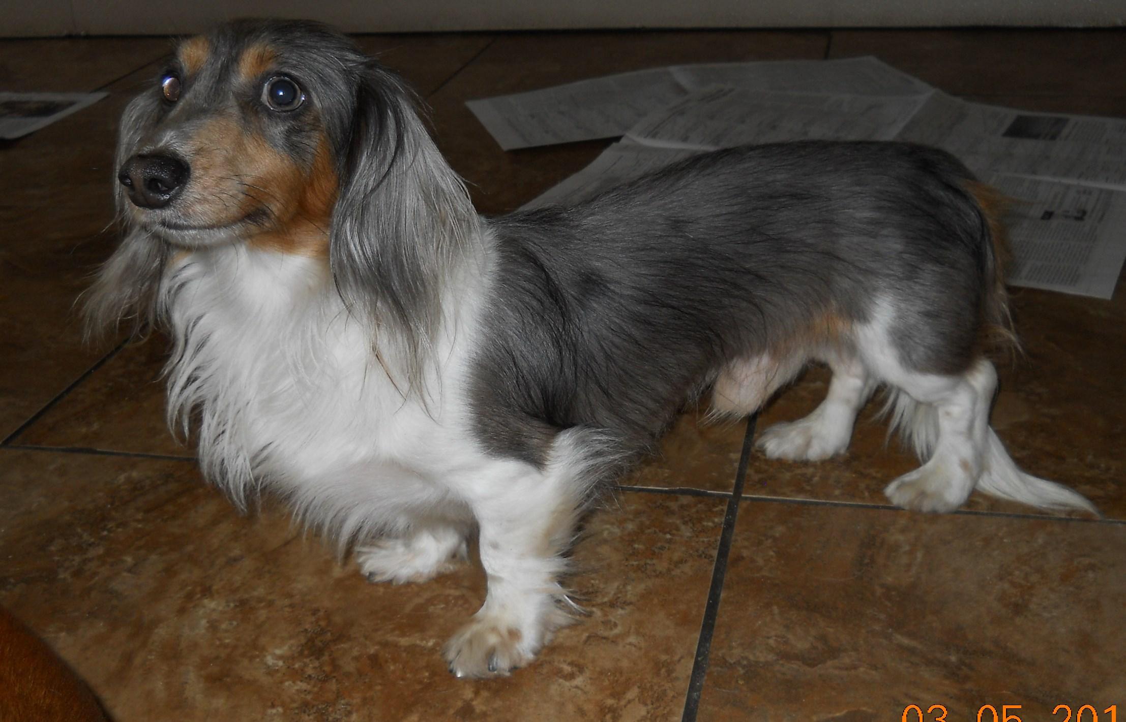 Adult miniature dachshund for sale virginia